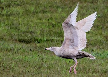 Glaucous Gull – MSBO, Kintyre 01 May (Eddie Maguire).