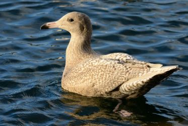 Glaucous Gull – Campbeltown, Kintyre 06 Nov (Eddie Maguire).