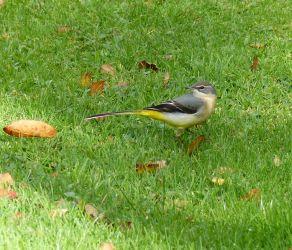 Grey Wagtail Tayvallich 11 Oct (Morag Rea).