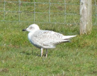 juvenile Iceland Gull - Heylipol, Tiree 03 May (John Bowler).