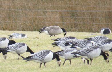 Lesser Canada Goose - Oa, Islay 26 Feb (David Wood).