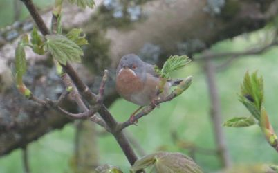 'Western' Subalpine Warbler - Kinnabus, Islay 16 May (David Wood).