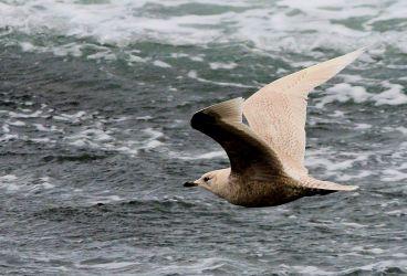 Iceland Gull – MSBO, Kintyre 06 April (Eddie Maguire).