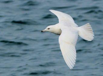 Iceland Gull – MSBO, Kintyre 24 Mar (Eddie Maguire).