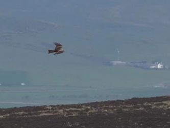 Black Kite – nr Machrihanish, Kintyre 11 May (Aidan Maccormick).