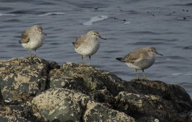 Red Knot - Keillmore (Loch Sween) 26 Feb (Andy Craven).