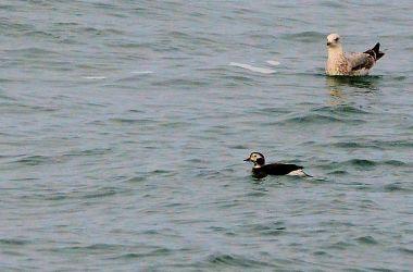 Long-tailed Duck – MSBO, Kintyre 13 Mar (Eddie Maguire).