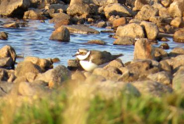 Little Ringed Plover - Loch Kinnabus, Islay 10 May (David Wood).