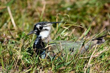 Incubating Lapwing – Westport Marsh, Kintyre 29 Apr (Eddie Maguire).
