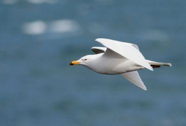 leucistic Herring Gull – MSBO, Kintyre 30 Apr (Eddie Maguire).