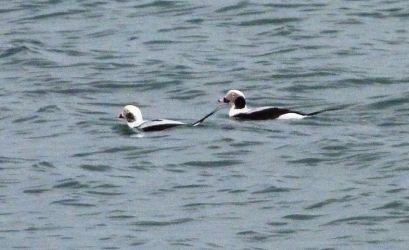 Long-tailed Duck – Sound of Gigha, Kintyre 02 Jan (David Jardine).