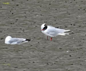 Mediterranean Gull – Add Estuary, Mid-Argyll 04 Jul (Jim Dickson)