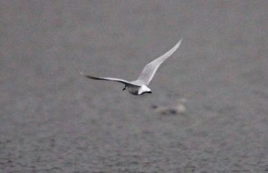 Mediterranean Gull – Loch Gilp, Mid-Argyll 13 Jan (Jim Dickson).