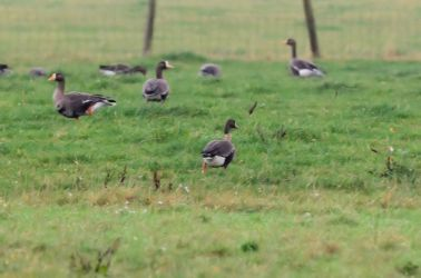 Greenland White-fronted Geese – Strath Farm (The Laggan), Kintyre 05 Nov (Eddie Maguire).