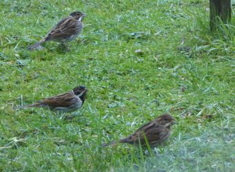 Reed Buntings – Connel, Mid-Argyll 18 Jan (Mike Harrison).
