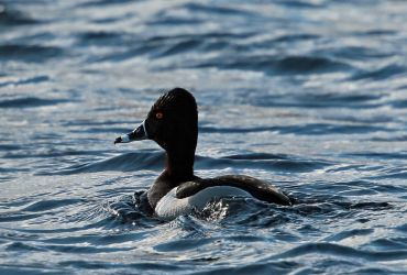 Ring-necked Duck - Loch Finlaggan, Islay 29 Apr (David Shallcross).