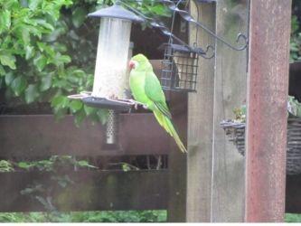 Rose-ringed Parakeet – Dunoon, Cowal 17 Jun (Michael Kent).