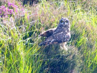 Short-eared Owl – nr Otter Ferry, Cowal 18 Jul (Tom Callan).