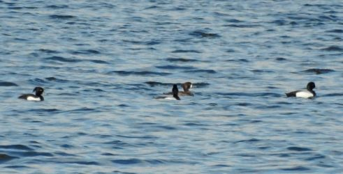 Greater Scaup & Tufted Duck - Ardrishaig Mid-Argyll 08 May (Jim Dickson).