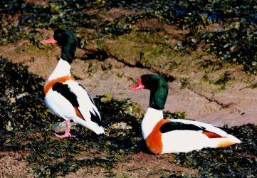 Common Shelducks - Campbeltown Loch, Kintyre 09 Mar (Eddie Maguire).