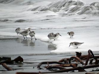 Sanderlings – Tiree 01 Jan (Jane Macleod).