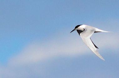 Sandwich Tern – MSBO, Kintyre 31 Mar (Eddie Maguire).