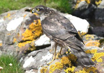 Female Sparrowhawk - MSBO, Kintyre 08 Aug (Eddie Maguire).