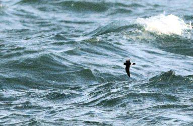 European Storm-petrel - MSBO, Kintyre 08 Aug (Eddie Maguire).