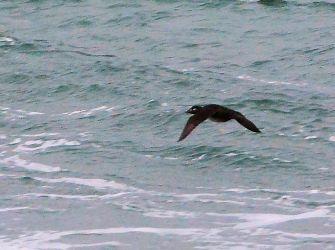 Surf Scoter - MSBO, Kintyre 27 Oct (Eddie Maguire).