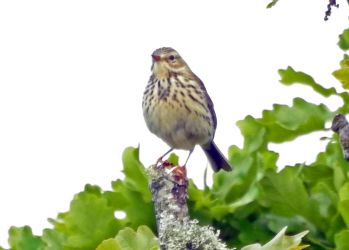 Tree Pipit - Duntrune, Mid-Argyll 29 May (Jim Dickson).