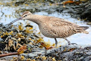 Whimbrel – MSBO, Kintyre 07 Aug (Eddie Maguire)