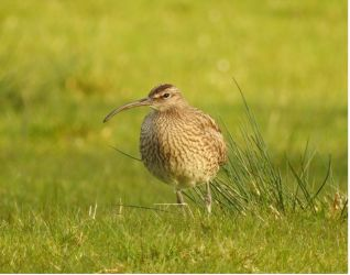 Whimbrel - Ballimeanoch, Mid-Argyll 06 May (Roger Broad).