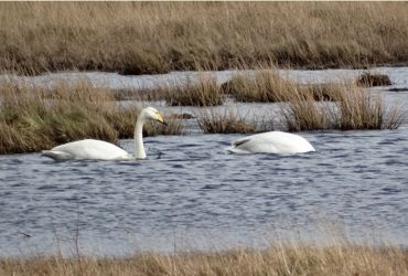Whooper Swans - The Puddle (Loch Sween), Mid-Argyll 03 Mar (Sue and Kevin Richardson).