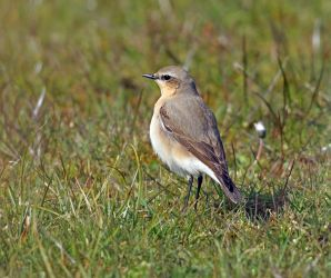 Northern Wheatear – Moine Mhor, Mid-Argyll 29 Apr (Jim Dickson).
