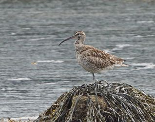 Whimbrel – Loch Gilp, Mid-Argyll 14 Aug (Jim Dickson).