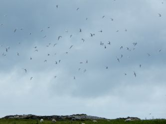 Arctic Terns – Gott Bay, Tiree 08 Jul (John Bowler).