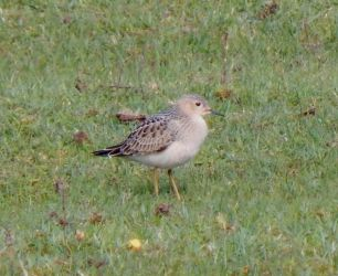 Buff-breasted Sandpiper - Middleton, Tiree 02 Sep (John Bowler).