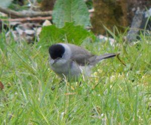 Blackcap – Balephuil, Tiree 13 Apr (John Bowler).