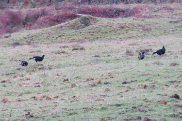 Black Grouse - Kilmichael Glen, Mid-Argyll 28 Dec (Jonathan Platt)