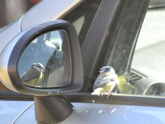 Blue Tit admiring its reflection - St Catherine's, Cowal 19 Mar (Graham Thomas).