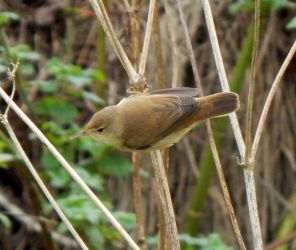 Blyth's Reed Warbler - Balephuil, Tiree 22 Oct (John Bowler).