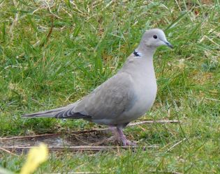 Collared Dove – Balephuil, Tiree 13 Apr (John Bowler).