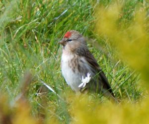 Common Redpoll – Balephuil, Tiree 15 Apr (John Bowler).