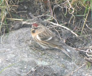 Common Redpoll - Balephuil, Tiree 25 Apr (John Bowler).