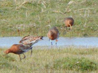 Leg-flagged Black-tailed Godwit – Loch Bhasapol, Tiree 02 May (John Bowler).