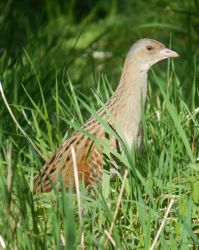 Corn Crake – Balephuil, Tiree 09 May (John Bowler).