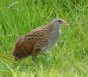 Corn Crake – Tiree 19 May (John Bowler).