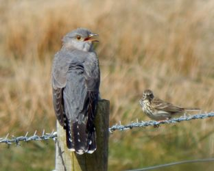 Common Cuckoo – Baugh, Tiree 06 May (John Bowler).