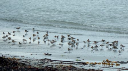 Dunlins - Vaul Bay, Tiree 23 May (John Bowler).