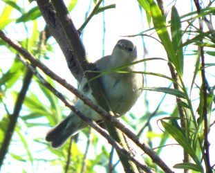 Garden Warbler– Balephuil, Tiree 28 May (John Bowler).